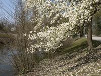 Blossom Magnolia tree, Rhine- North Westphalia, Germany, Europe