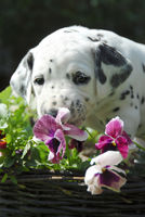 Dalmatian puppy, four weeks old, smells at pansy
