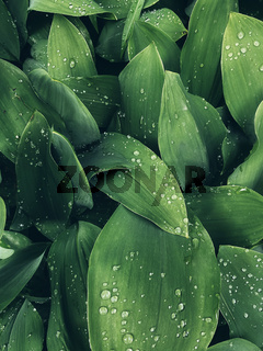 Background made of fresh wet green leaves