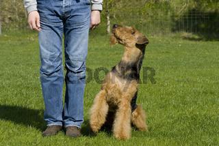 Airdale Terrier bei Fuß