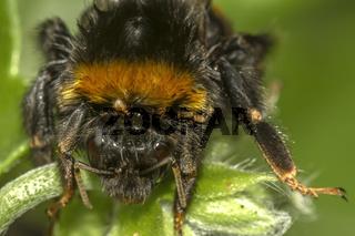 Bumble Bee Face View Berkshire UK