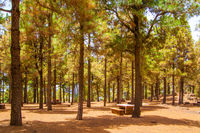 Pine forest in Gran Canaria