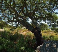 Cork oak in the