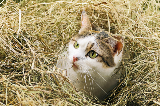 Cat In Hay