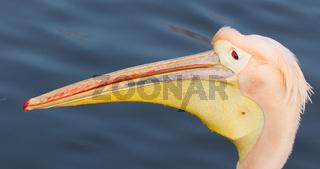 A close-up of a pelican