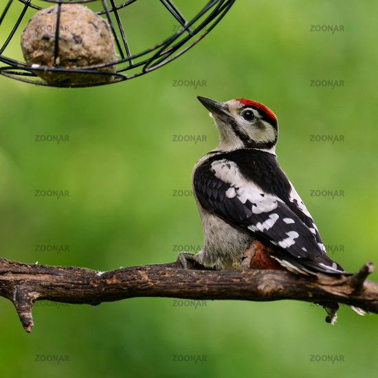 Juvenile great spotted woodpecker with a fat ball