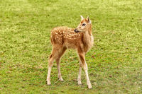 Fawn on the pasture