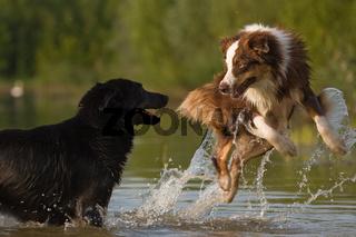 zwei Australian Shepherds im Wasser