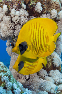 Paar Masken-Falterfische, Aegypten