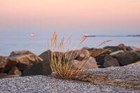 Grasbüschel auf der Mole von Sassnitz auf der Insel Rügen am Abend