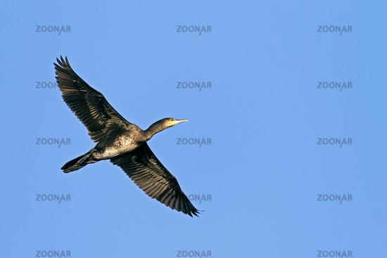 Great Cormorant is a gregarious bird species