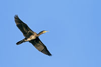 Great Cormorant is a gregarious bird species
