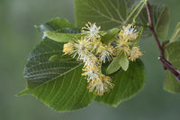 Blossoms of a lime tree (Tilia spec.)