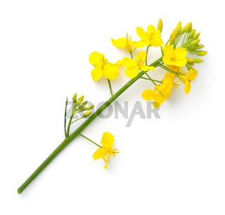 Rapeseed Isolated On White Background Canola Flower