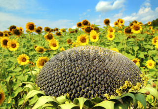 ripe sunflower and sunflowers field