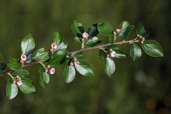 Cotoneaster divaricatus, Spreading Cotoneaster