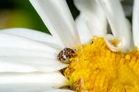 Small colorful carpet beetle Anthrenus scrophulariae on a white daisy flower with copy space