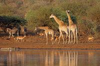 Giraffes (Giraffa camelopardalis) and other wildlife at a waterhole