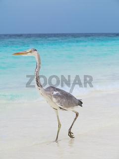 Pelican is walking on a Caribbean sea shore