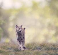 Bobcat Walking In The Grass