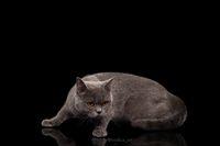 Adorable dark gray Scottish Straight cat
