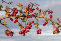 Früchte und Blätter des Eingriffeligen Weißdorns vor bewölktem Himmel