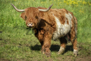schottische Hochlandrinder 8