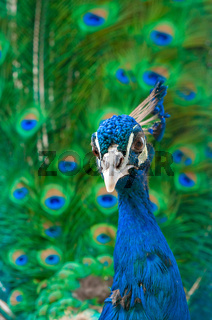 close up image of peacock