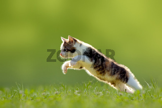 Young cat jumps over a meadow backlit