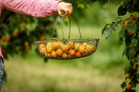 Female hand holding basket with fresh apricots
