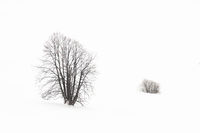 Single Tree standing in snowy environment in winter