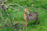 deer eats on apple tree