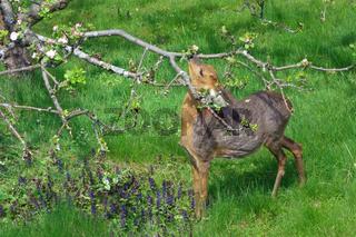 reh frisst an apfelbaum