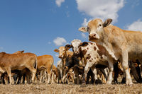 Small herd of free-range cattle on a rural farm