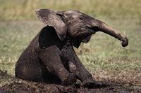 african Elephant, baby elephant mudbathing