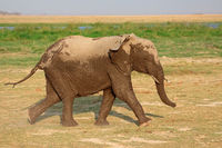 Running African elephant (Loxodonta africana)