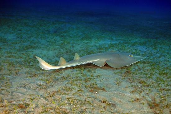 Halavi guitarfish