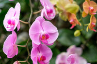 pink orchid flower garden - orchid flowers