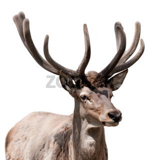 Deer isolated