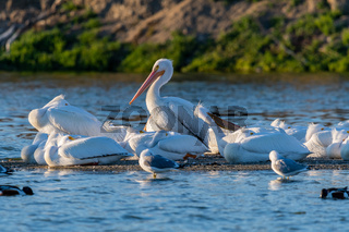 A Group of American White Pelicans resting around Lake Elsinore, California