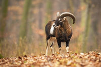 Mouflon ram standing in forest with foliage in autumn
