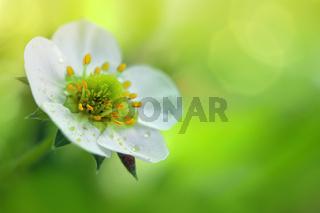 Closeup of a white strawberry blossom. Spring background.