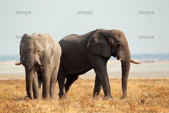 African elephants on open plains