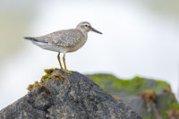 A Red Knot in the transition plumage summer-winter stands on a rock / Calidris canutus
