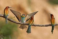 Bienenfresser (Merops apiaster) in Aktion auf einem Ast