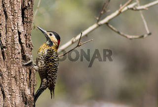 portrait of a real woodpecker on the tree trunk