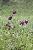 Schachblume, Fritillaria meleagris, nake's head