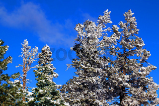 Heavy Snowfall in Pine Forest