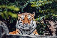 resting Siberian tiger, Panthera tigris altaica