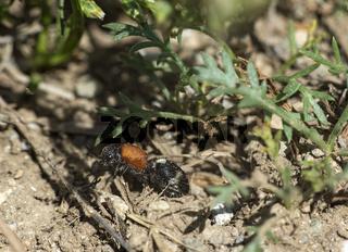 Flügelloses Weibchen der Ameisenwespe Physetopoda halensis